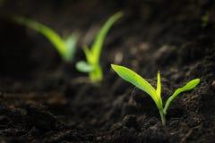 Wachsender Mais Stockfotografie