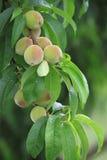 Wachsender Pfirsich Stockbilder