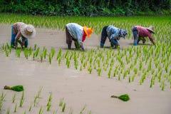 Wachsender Reis stockfotos