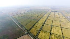 Wachsender Reis auf überschwemmten Feldern Reifer Reis auf dem Gebiet, der Anfang des Erntens Eine Panoramasicht Stockbilder