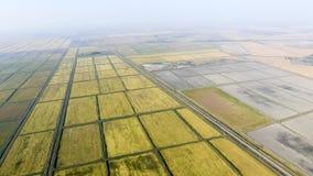 Wachsender Reis auf überschwemmten Feldern Reifer Reis auf dem Gebiet, der Anfang des Erntens Eine Panoramasicht Lizenzfreies Stockbild