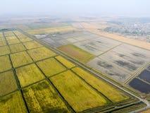 Wachsender Reis auf überschwemmten Feldern Reifer Reis auf dem Gebiet, der Anfang des Erntens Eine Panoramasicht Stockfotos