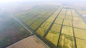Wachsender Reis auf überschwemmten Feldern Reifer Reis auf dem Gebiet, der Anfang des Erntens Eine Panoramasicht Lizenzfreies Stockfoto