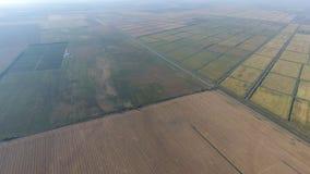 Wachsender Reis auf überschwemmten Feldern Reifer Reis auf dem Gebiet, der Anfang des Erntens Eine Panoramasicht Stockfoto