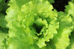 Wachsender Salat Lizenzfreies Stockbild