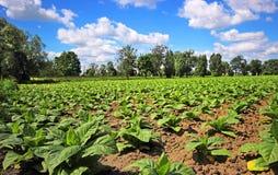 Wachsender Tabak auf einem Feld Lizenzfreie Stockbilder