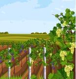 Wachsender Vektor Ernte des Weinbergs Schöne Sommerhintergründe lizenzfreie abbildung