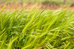 Wachsender Weizen auf Wind Stockbilder