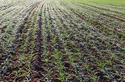 Wachsender Weizen unter Schnee Lizenzfreie Stockfotos