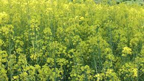 Wachsendes Feld des Canola stock video footage