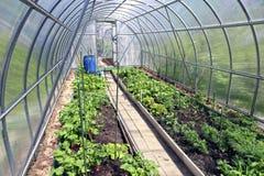 Wachsendes Gemüse in den Gewächshäusern Stockfoto