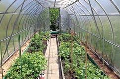 Wachsendes Gemüse in den Gewächshäusern Stockbilder