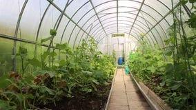 Wachsendes Gemüse in den Gewächshäusern gemacht vom Polycarbonat stock footage
