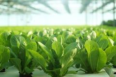 Wachsendes Gemüse in einem Gewächshaus Plantagen des grünen Salats lizenzfreies stockfoto