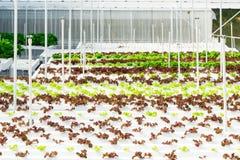 Wachsendes Gemüse unter Verwendung keines Bodens oder soilless Kultur Lizenzfreies Stockbild