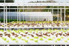 Wachsendes Gemüse unter Verwendung keines Bodens oder soilless Kultur Stockbilder