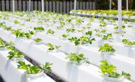 Wachsendes Gemüse unter Verwendung keines Bodens oder soilless Kultur Lizenzfreies Stockfoto