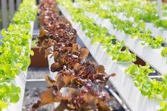 Wachsendes Gemüse unter Verwendung keines Bodens oder soilless Kultur Lizenzfreie Stockfotografie