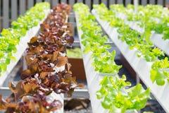 Wachsendes Gemüse unter Verwendung keines Bodens oder soilless Kultur Stockbild