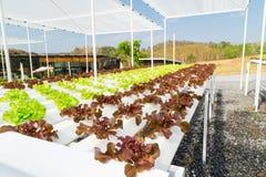 Wachsendes Gemüse unter Verwendung keines Bodens oder soilless Kultur Stockfoto