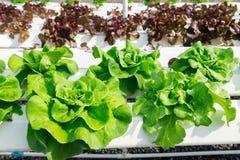 Wachsendes Gemüse unter Verwendung keines Bodens oder soilless Kultur Lizenzfreie Stockfotos