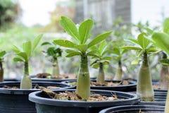 Wachsendes Konzept: Schließen Sie oben von jungen Adenium Obesum-Bäumen Stockfoto
