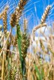Wachsendes Korn (nahe hohe) Stockfoto