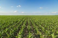 Wachsendes Maisfeld, grüne landwirtschaftliche Landschaft Stockfotos