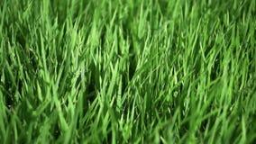 Wachsendes Reisfeld beeinflußt unter die Böen des Winds, Grüns unter der Sonne, Rasenfläche, Sommergras unter der Sonne stock video footage
