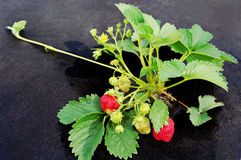 Wachsendes strawbery. Stockbilder