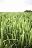 Wachsendes Weizenfeld Stockbild