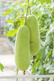 Wachskürbis in einem Garten Lizenzfreies Stockfoto