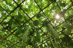 Wachskürbis und Kürbis auf Baum Lizenzfreie Stockfotos