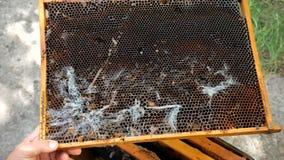 Wachsmotte multipliziert schnell Seine Larven essen das Wachs, den Blütenstaub, das Bienenbrot und den Honig stock footage