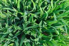 Wachstum der jungen Frühlingsvegetation mit dem Anfang der Frühlings-Saison lizenzfreie stockbilder