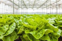 Wachstum des Kopfsalates innerhalb eines Gewächshauses stockfotografie