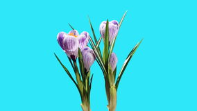 Wachstum des violetten ALPHAleches der Krokusblumenknospen stock footage