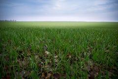 Wachstum des Weizens auf Feld lizenzfreie stockfotos