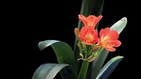 Wachstum Matt- der Clivia-Blumenknospen ALPHA, VOLLEN HD. stock video footage