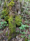 Wachstum von grünen Moosen stockfoto