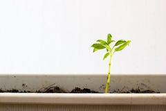 Wachstum von jungen Grünpflanzen im Topf Lizenzfreies Stockbild