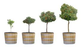 Wachstum von Zitrusfruchtbäumen lizenzfreies stockbild