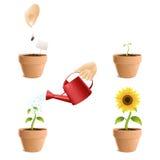 Wachstumsprozess eine Sonnenblume Stockfoto