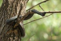 Wacht de slang giftige adder in de lente op droge tak van boom Vipera Berus Royalty-vrije Stock Foto