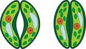 Wachtcellen van stoma royalty-vrije illustratie