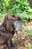 Wachtel allemand de chien d'épagneul Images stock