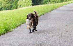 Wachtel allemand de chien d'épagneul Photos libres de droits