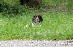 Wachtel tedesco del cane dello spaniel Immagine Stock Libera da Diritti