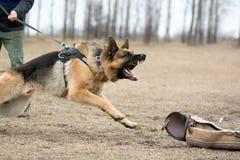 Wachthond die worden opgeleid royalty-vrije stock afbeelding