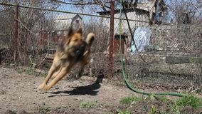 Wachthond op een ketting stock footage